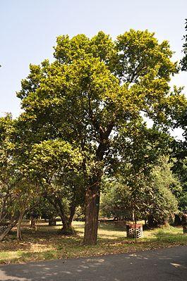 265px-Acharya_Jagadish_Chandra_Bose_Indian_Botanic_Garden_-_Howrah_2011-01-08_9797.JPG