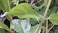 Acherontia styx (Thailand, Nonthaburi, Bang Bua Thong, Soi Mu Ban Bua Thong 1, 21,24.xii .2014) (D. Kruger) L4 1.jpg