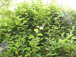 Actinidia chinensis1.jpg