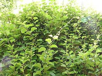 Actinidia chinensis - Image: Actinidia chinensis 1