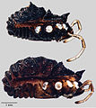 Acuclavella sheari male and female - ZooKeys-311-019-g009.jpeg