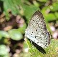 Acytolepis puspa - Common Hedge Blue 02.JPG