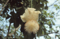 Adansonia digitata 20050823 flower.png