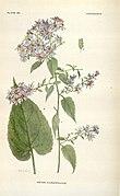 Addisonia (PLATE 080) (8577498086).jpg