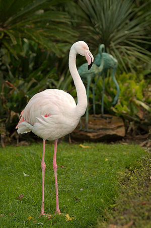 Adelaide Zoo - The last greater flamingo in Australia died at Adelaide Zoo in January 2014