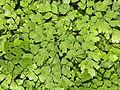 Adiantaceae - Adiantum tenerum.JPG