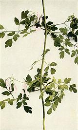 Adlumia fungosa WFNY-079B.jpg
