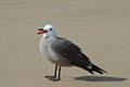 Adult Heermann's gull showing it's tongue.jpg