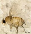 Adult female Apocephalus borealis.png