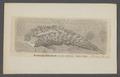 Aeolis papillosa - - Print - Iconographia Zoologica - Special Collections University of Amsterdam - UBAINV0274 080 14 0004.tif