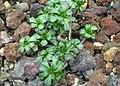 Aeonium spathulatum (Sukkulentensammlung).jpg