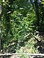 Aethusa cynapium subsp. elata sl13.jpg