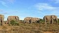 African Elephants (Loxodonta africana) herd ... (46511952094).jpg