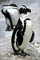 African Penguin at Memphis Zoo.JPG
