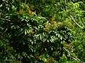 Aglaia spectabilis2479.jpg