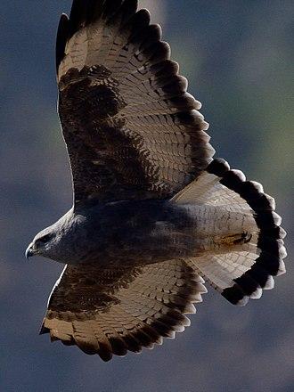 Variable hawk - Dark morph individual. Near Santiago