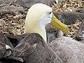 Albatross birds - Espanola - Hood - Galapagos Islands - Ecuador (4871020469).jpg