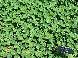 Alchemilla mollis - Alchemilla mollis as ground cover