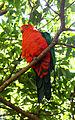 Alisterus scapularis -Taronga Zoo -Sydney-8a.jpg