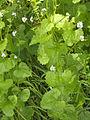 Allaria petiolata(01).jpg