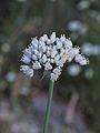 Allium carmeli 2.jpg