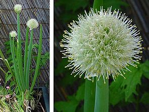 Zwiebel (Allium cepa)