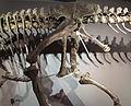 Allosaurus acetabulum def.jpg