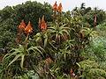 Aloe arborescens - Gorongosa 3 (10238187086).jpg