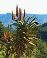 Aloe ferox00.jpg