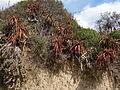 Aloe spicata 4 (9437011862).jpg
