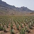 Aloe vera in Gran Canaria, Spain.jpg