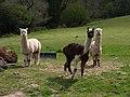Alpacas near Westcott - geograph.org.uk - 1291761.jpg
