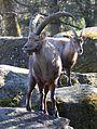 Alpensteinbock Capra ibex ibex Tierpark Hellabrunn-10.jpg