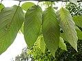 Alphitonia whitei RBGS.jpg