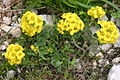 Alyssum ovirense (Obir-Steinkraut) IMG 0681.jpg