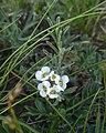 Alyssum tenuifolium 77569568.jpg