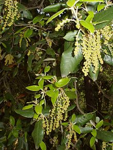 Quercus suber L  Plants of the World Online  Kew Science