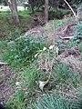 Amaryllis belladonna L. (AM AK330553-2).jpg