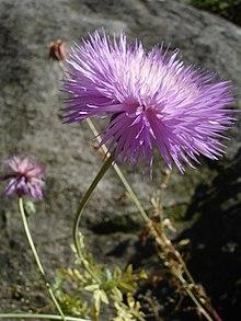 Amberboa moschata1UME.jpg