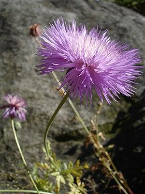Amberboa moschata - Image: Amberboa moschata 1UME