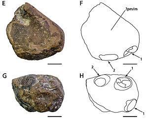 Amblydectes - A. eurygnathus holotype