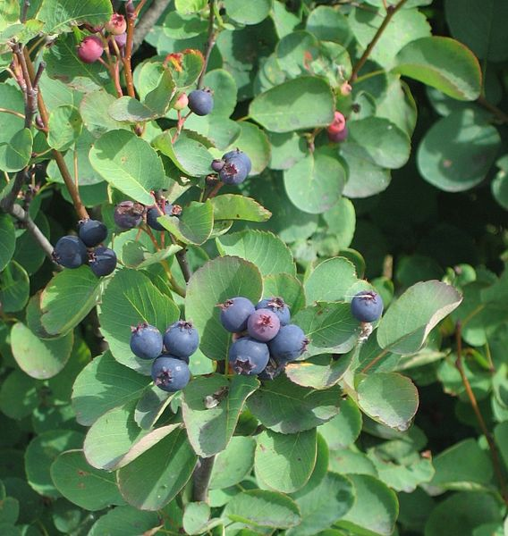 Файл:Amelanchier alnifolia.jpg
