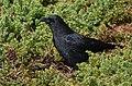 American Crow (45571524282).jpg