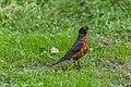 American Robin (43294885695).jpg