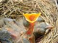 American Robin Nest2.jpg