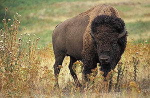 Bison bison. Original caption: