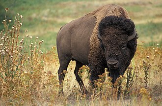 National symbols of the United States - Image: American bison k 5680 1