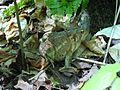 Americn Toad.JPG