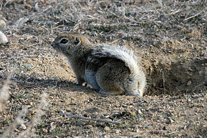 San Joaquin antelope squirrel - Image: Ammospermophilus nelsoni