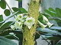 Amphitecna macrophylla3.jpg